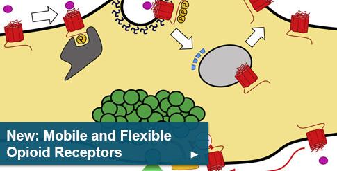 New: Mobile and flexible opioid receptors